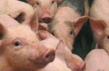 Cum evoluează pesta porcină în Argeş