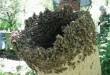 Roi de albine, pericol în Piteşti!