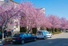 Mioveni, oraşul florilor